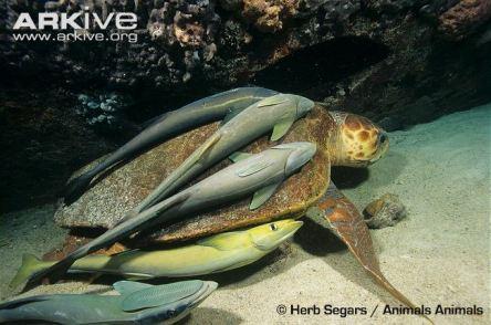 Remoras-on-loggerhead-turtle